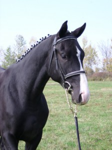 Galahad seen here as a two year old. Galahad was sold to Jamie Ferguson from the Kemptville area.