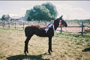 Juwel at Ashland Farms winning a CSHA line class in 2005.