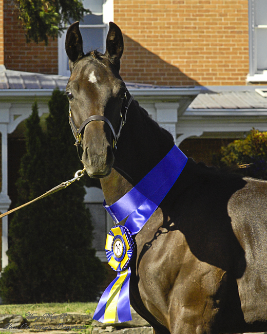 Detyana at the 2009 Hanoverian Inspection of Eastern Ontario. Photo credit thanks to: Mary White