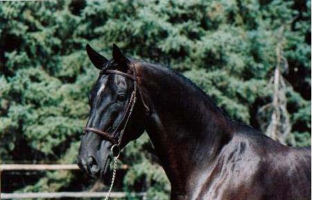 Geronimo. 17.3 H.H. Hanoverian stallion.