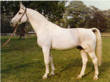 Gotthard - for seven years, Gotthard was the leading sire of showjumpers in Germany.